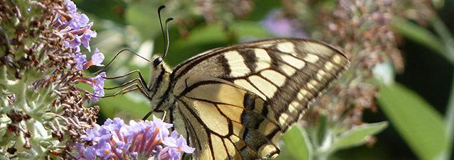 buddlei-plus-vlinder