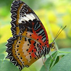 vlinder-bruin